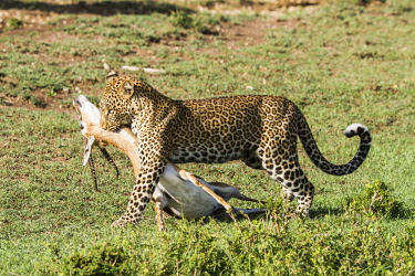 HMS2141247 Kenya, Masai Mara game Reserve, leopard (Panthera pardus), female carrying its prey