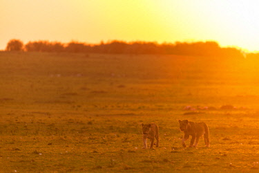 HMS2141272 Kenya, Masai Mara game Reserve, lion (Panthera leo), female and young one moving at sunrise