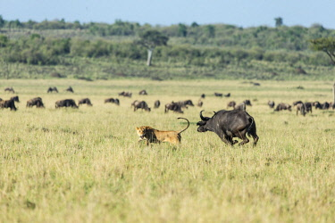 HMS2141315 Kenya, Masai Mara game Reserve, lion (Panthera leo), lioness chased by buffalos