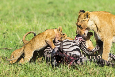 HMS2141359 Kenya, Masai Mara game Reserve, lion (Panthera leo), lionesses and young ones eating a zebra