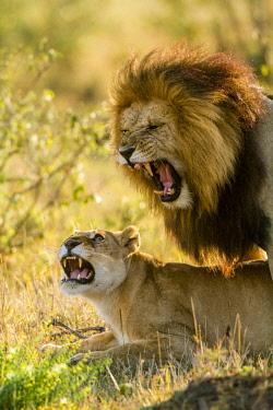 HMS2205739 Kenya, Masai-Mara game reserve, lion (Panthera leo), mating