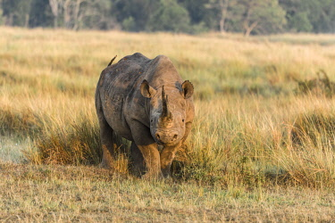 HMS2236779 Kenya, Masai-Mara Game Reserve, black rhino (Diceros bicornis), male