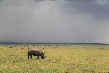 HMS2480211 Kenya, Masai-Mara game reserve, black rhino (Diceros bicornis), and storm
