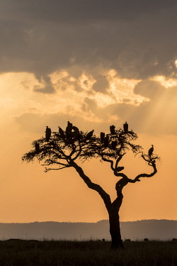 HMS2480254 Kenya, Masai-Mara game reserve, vultures at sunset