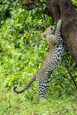 HMS2690270 Kenya, Masai-Mara game reserve, leopard (Panthera pardus), female playing with her cub