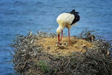 POR9388AW A white stork feeding his cubs. The Parque Natural do Sudoeste Alentejano e Costa Vicentina, in the south of Portugal, is the only place in the world where white storks live in nests over the Ocean. P...