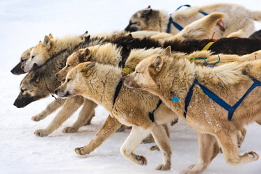 GRN1320 Husky dogs setting off on a dog sled ride, Ilulissat, West Greenland