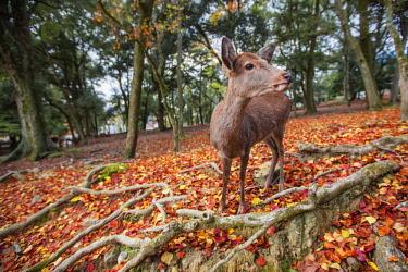 CLKMG60630 Sika deer in Nara, Honshu, Japan