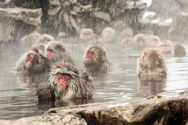 CLKMG60666 Snow monkeys of Jogokudani valley, Nakano, Nagano prefecture, Japan