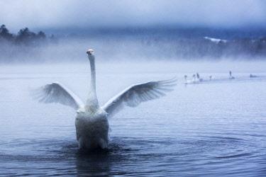 CLKMG60671 Whooper swans in Lake Kussharo, Hokkaido, Japan
