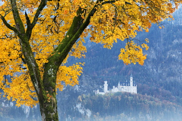 CLKRM56197 A colorful tree frames the Neuschwanstein Castle surrounded by woods Füssen Bavaria Germany Europe