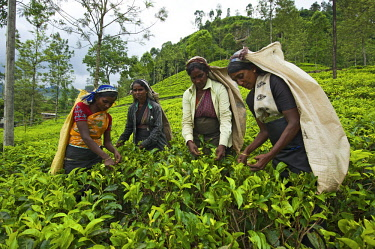 SRI2054AW Women harvesting tea, Nuwara Eliya, Sri Lanka