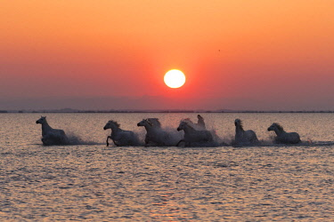 FRA9703AW France, Provence, Camargue, A herd of white horses gallop through a lake in the Camargue at sunrise