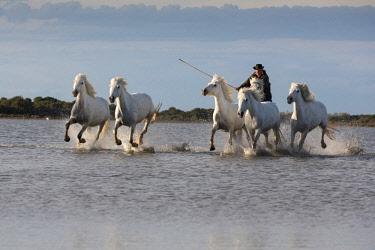 FRA9706AW France, Provence, Camargue, A guardian herds white Camargue horses through a shallow lake