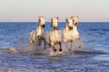 FRA9709AW France, Provence, Camargue, White horses of the Camargue run through the mediterranean sea