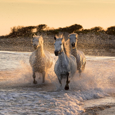 FRA9713AW France, Provence, Camargue, White horses of the Camargue run through the surf in the mediterranean sea , with the spray backlit at dusk