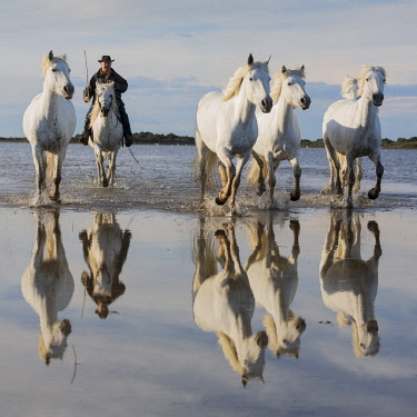 FRA9722AW France, Provence, Camargue, A guardian and white Camargue horses  reflected in a calm lake
