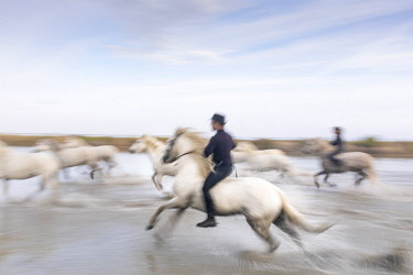 FRA9725AW France, Provence, Camargue, Two guardians herd white horses through a lake