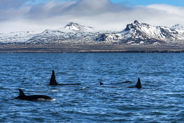 ICE4067 Killer Whales, Orca (Orcinus orca), feeding along the Snaefellsnes Peninsula, Grundarfjordur, West Iceland.