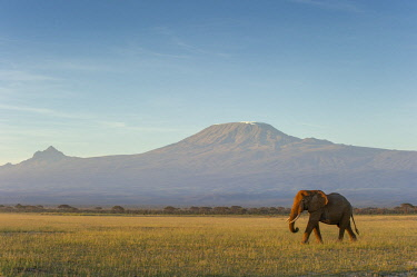 KN01101 Elephants and Mount Kilimanjaro at dawn, Amboseli, Kenya