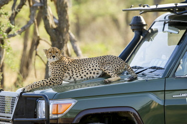 Cheetah sitting on safari vehicle, Serengeti, Tanzania