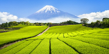 JAP1171AW Green tea plantation near Mount Fuji, Yoshiwara, Shizuoka prefecture, Japan