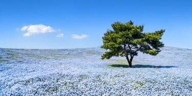 JAP1173AW Nemophila menziesii flowers in spring blooming at the Hitachi Seaside Park, Ibaraki prefecture, Japan