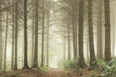 ENG14609AW Path leading through a misty coniferous woodland, Devon, England.