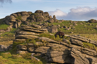 ENG14619AW Free roaming Dartmoor pony grazing among the rugged granite outcrops near Saddle Tor, Dartmoor, Devon, England. Spring (May) 2017.