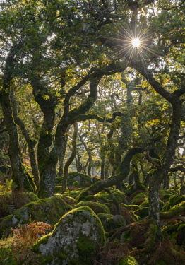 ENG14636AW Sunshine radiates through Black a Tor copse, an ancient Oak woodland on Dartmoor's high moorland, Devon, England. Autumn (October) 2016.