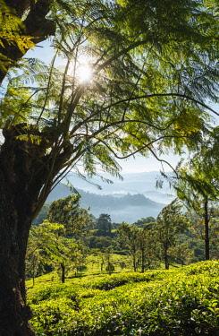 IND8319AW Tea Plantations near Munnar, Kerala, India