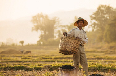 MYA2189AW Man working in Paddy fields near Hsipaw, Shan State, Myanmar, Asia
