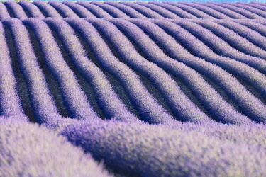 FRA9967AW France, Provence Alps Cote d'Azur, Haute Provence, rows of lavender on Valensole plateau