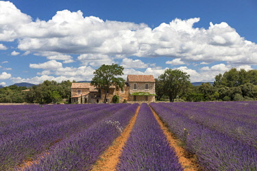FRA9974AW France, Provence Alps Cote d'Azur, Haute Provence, old stone house & rows of lavender near Roussillon