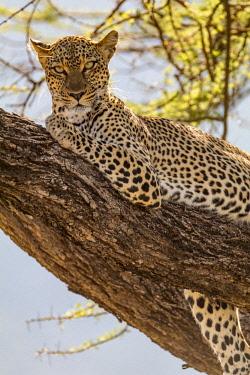 AF21EWI0017 Africa, Kenya, Samburu National Reserve. African Leopard (Panthera pardus pardus) in tree.