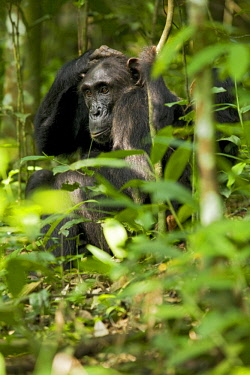Africa, Uganda, Kibale National Park, Ngogo Chimpanzee Project. With her infant nearby a mother chimpanzee relaxes as she is groomed.