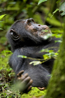 AF48KRM0237 Africa, Uganda, Kibale National Park, Ngogo Chimpanzee Project. A male chimpanzee lying down in the forest.