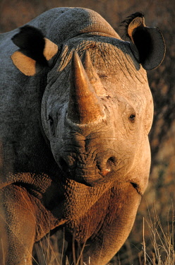 AF05AWO0061 Kalahari Desert of Botswana, South Africa, and Namibia, the highly endangered desert black rhinoceros clings to life, perhaps a few as three hundred are left.