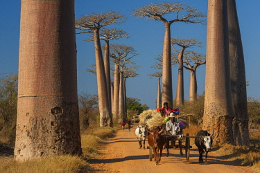 AF24AWO0012 Large cows known as zebus pull a cart past iconic baobab trees in rural Madagascar, where they are the most common form of transportation.