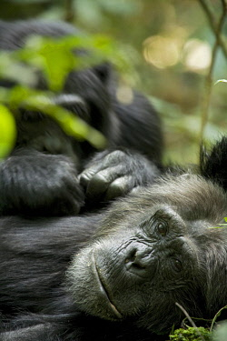 Africa, Uganda, Kibale National Park, Ngogo Chimpanzee Project. A male chimpanzee relaxes as he is groomed.