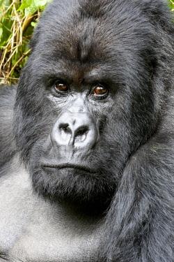 AF35EGO0025 Africa, Rwanda, Volcanoes National Park. Portrait of a silverback mountain gorilla.
