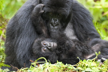 AF35EGO0033 Africa, Rwanda, Volcanoes National Park. Female mountain gorilla with her young.