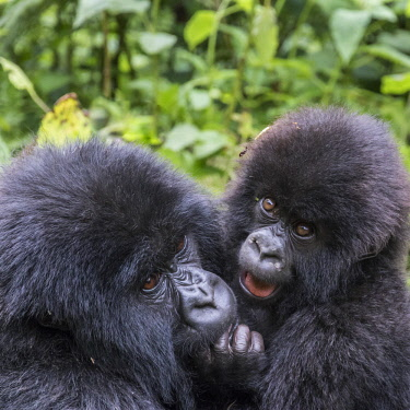 AF35EWI0021 Africa, Rwanda, MUSAnze District, Volcanoes National Park, Ruhengeri, Kinigi. Gorilla, beringei beringei, Mountain gorilla. Baby and mother.