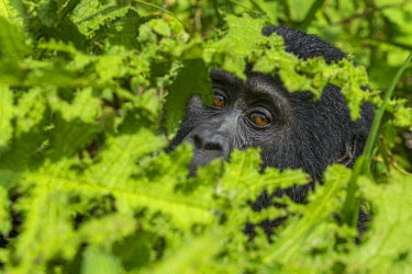 AF48AWO0005 Mountain gorilla, Bwindi Impenetrable National Park, Uganda