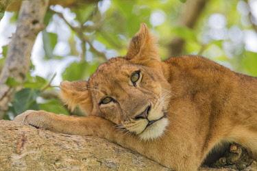 AF48EWI0034 Africa, Uganda, Ishasha, Queen Elizabeth National Park. Lioness, (Panthera Leo) in tree, resting on branch.