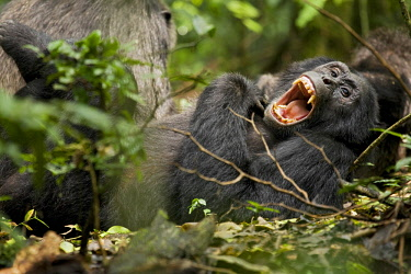 AF48KRM0106 Africa, Uganda, Kibale National Park, Ngogo Chimpanzee Project. Wild chimpanzee yawns while resting with others.
