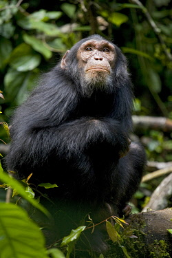 AF48KRM0147 Africa, Uganda, Kibale National Park, Ngogo Chimpanzee Project. Wild, young adolescent male chimpanzee sits looking up into the trees.