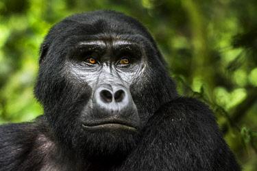 AF48RHA0016 Mountain gorilla (Gorilla beringei beringei). Bwindi Impenetrable Forest. Uganda
