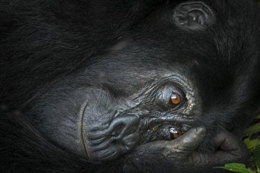 AF48RHA0038 Mountain gorilla (Gorilla beringei beringei). Bwindi Impenetrable Forest. Uganda