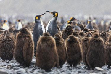 AN02BJA0102 South Georgia Island, Salisbury Plains. Adult king penguins amid juveniles during rainstorm